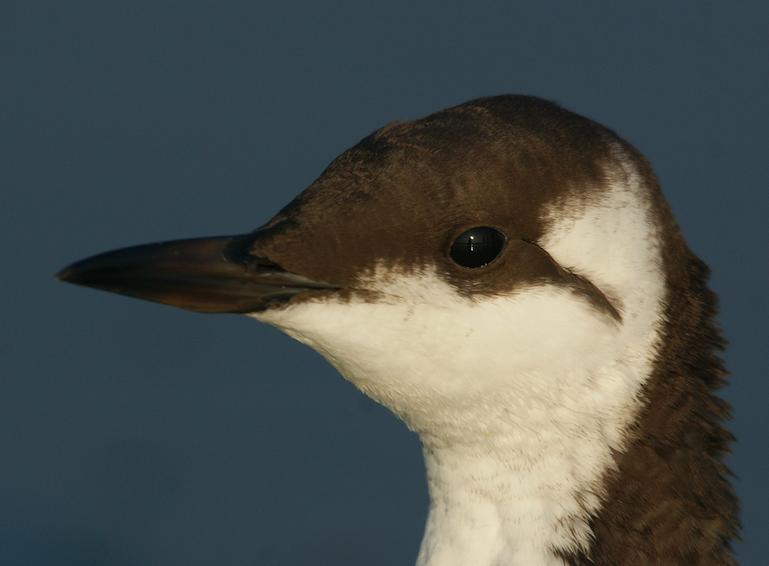 Relatief weinig slachtoffers onder vogels door olievlek ten westen van Texel